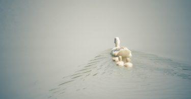 duck-1536482_1920